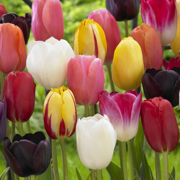 Late flowering tulip mix