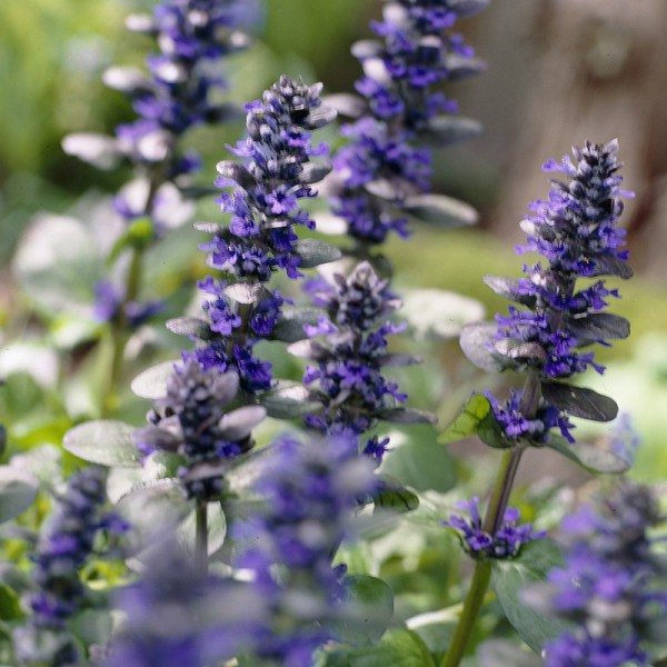 Ajuga 'Chocolate Chip'
