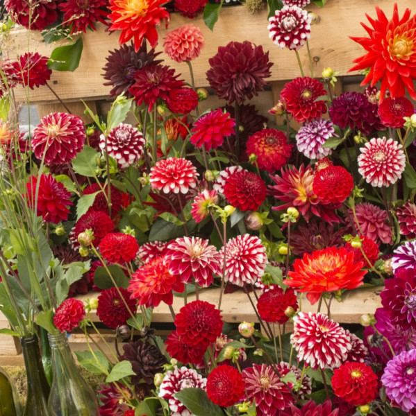 Reds and Two Tone Dahlia Mix