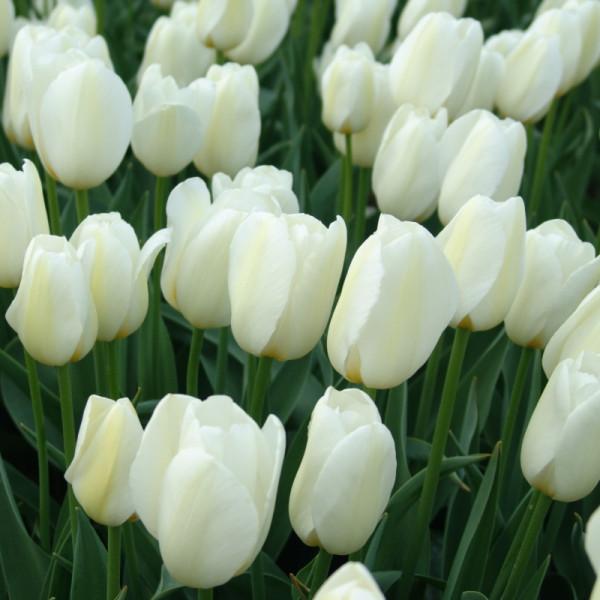 Tulip Pays Bas