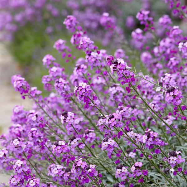 Wallflower (Erysimum) 'Bowles Mauve'