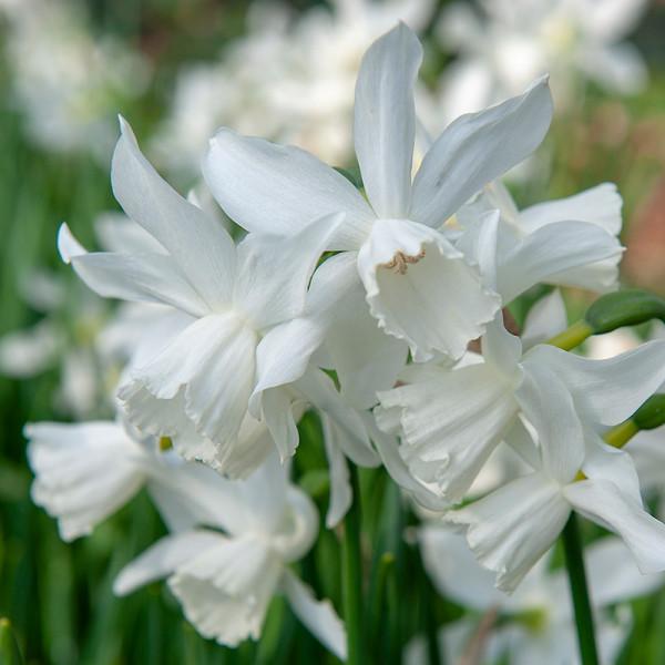 XL-Pack Daffodil Thalia