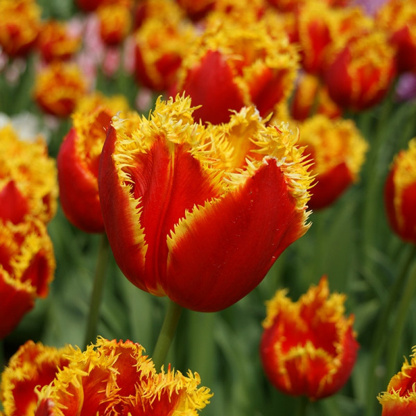 Tulip Davenport®