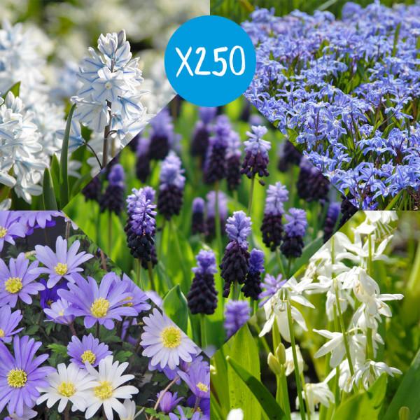 Flower Bulb Collection Delft Blue à 250
