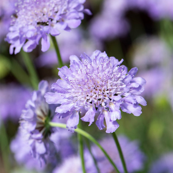 Scabious (Scabiosa col.) 'Butterfly Blue'