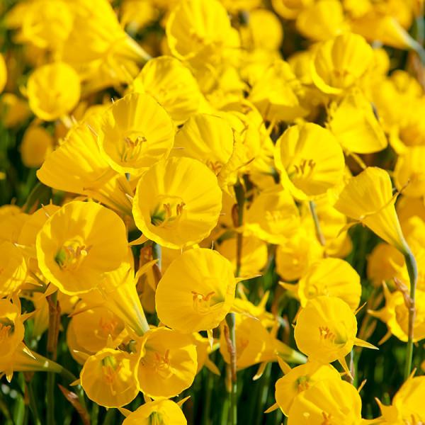 Narcissus Golden Bells