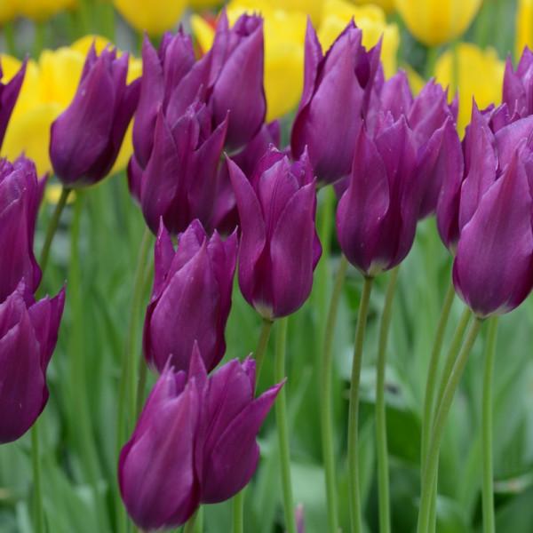Tulip Purple Dream