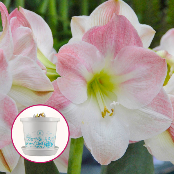Amaryllis Apple Blossom in pot and in giftbox