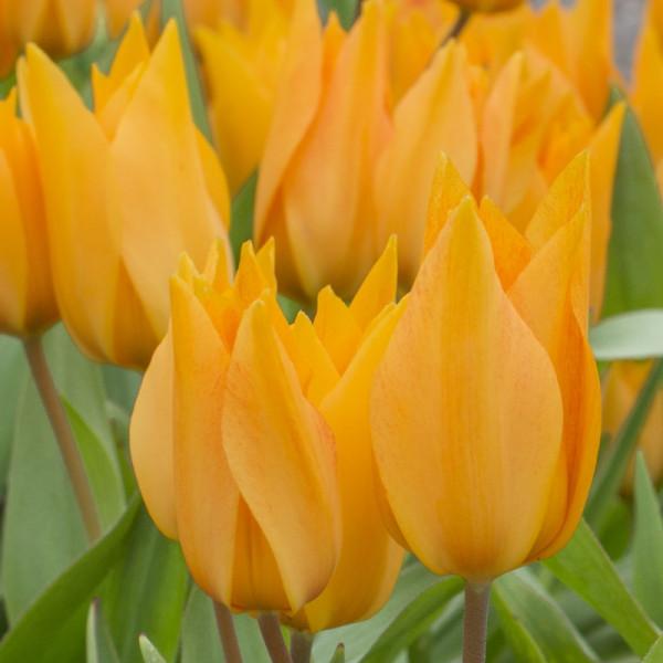 Tulip praestans Shogun