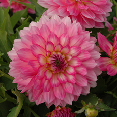 Alles-over-Dahlias-Gallery