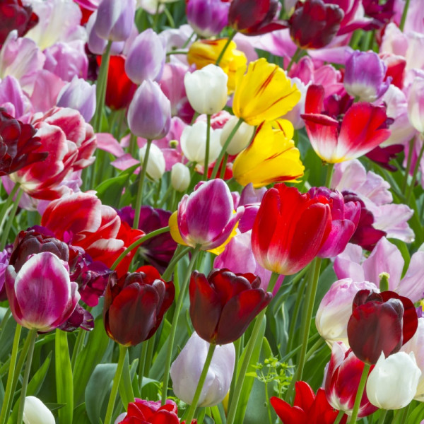 Tulip Triumph Mix