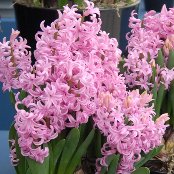 Hyacinthus multiflora pink