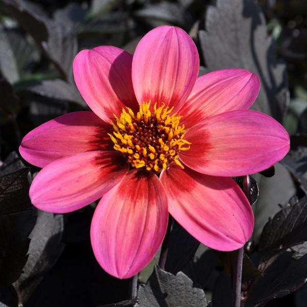 Dahlia Dahlegria Tricolore, à 3