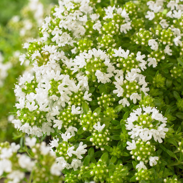 Thyme (Thymus praecox) 'Albiflorus'