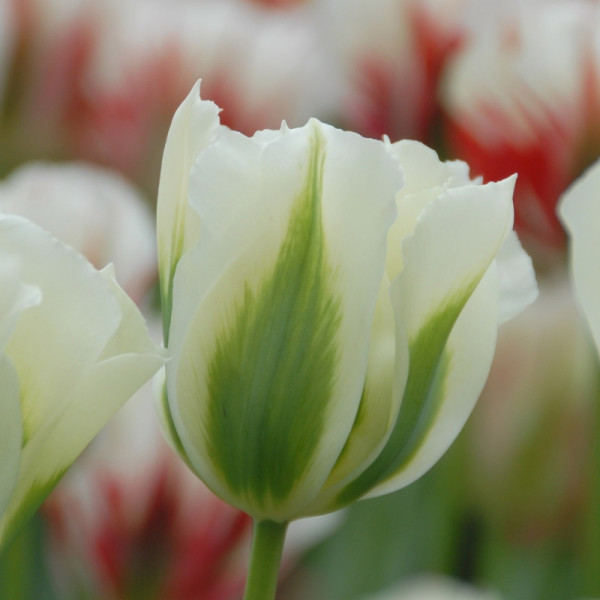 XL-Pack Tulip Spring Green