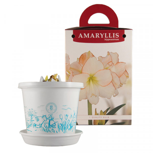 Amaryllis Picotee in pot and in gift box