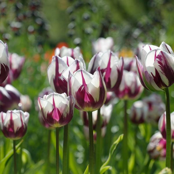 XL-Pack Tulip Rem's Favourite