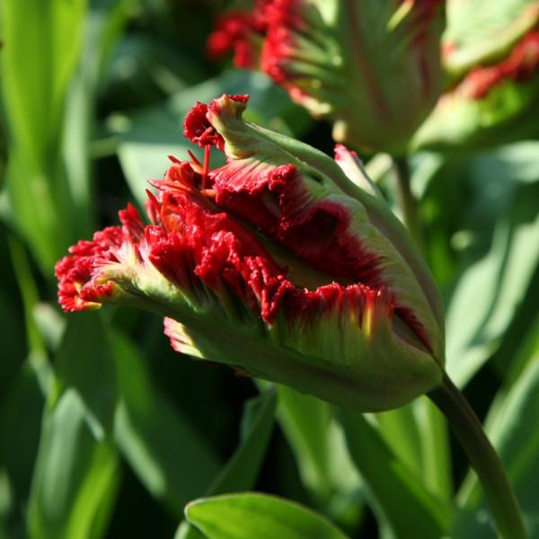 Tulip Exotic Parrot