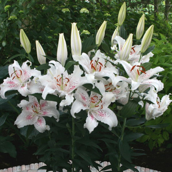 Lily Muscadet®