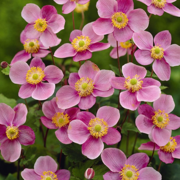 Anemone hup. 'September Charm' set of 3 plants, price is per plant