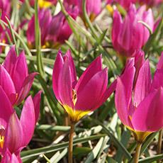 Alles-Over-Tulpen-specie