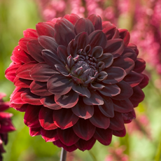 Alles-over-Dahlias-Decoratief