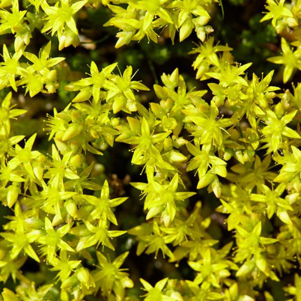 Stonecrop (Sedum acre) 'Yellow Queen'