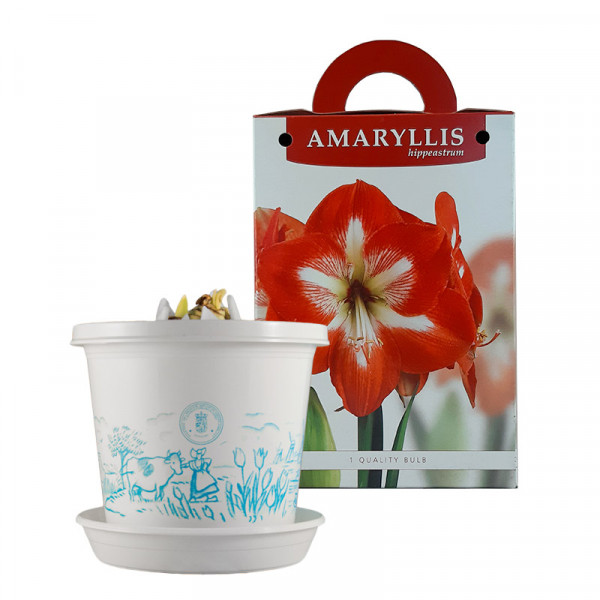 Amaryllis Minerva in pot and in gift box