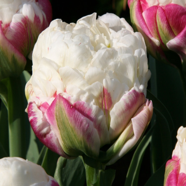 Tulip Ice Cream